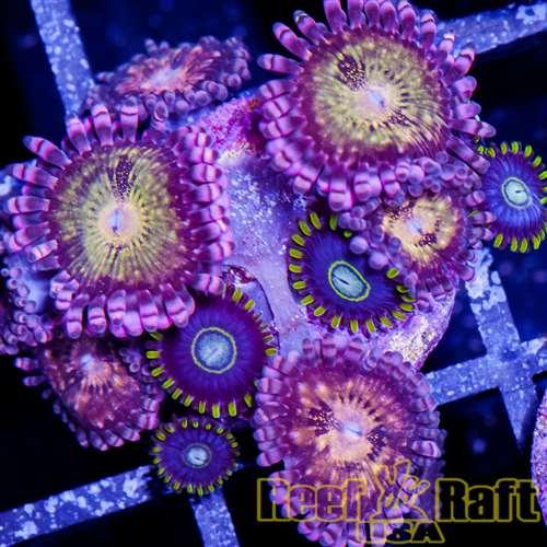Blue Hornet Zoanthids