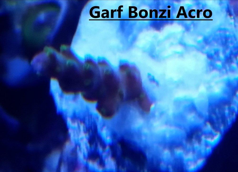 Garf Bonzi Acro.jpg