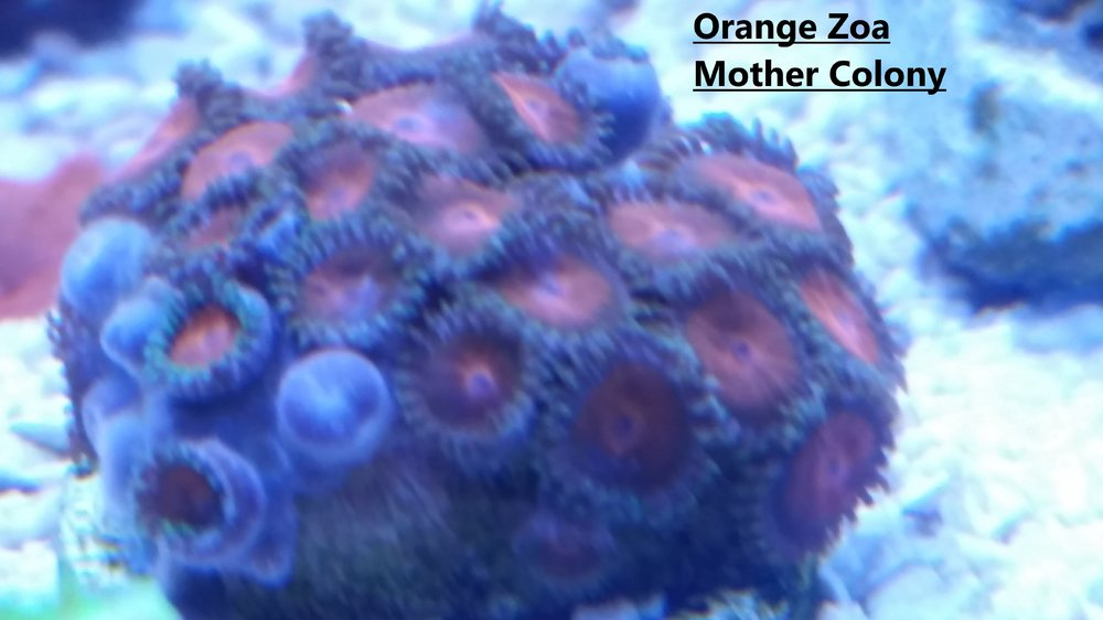 Orange Zoa Mother Colony.jpg