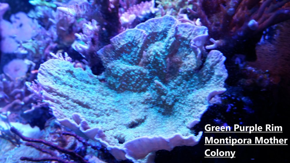 Green Purple Rim Montipora Mother Colony.jpg