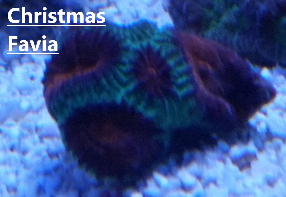 Christmas Favia.jpg