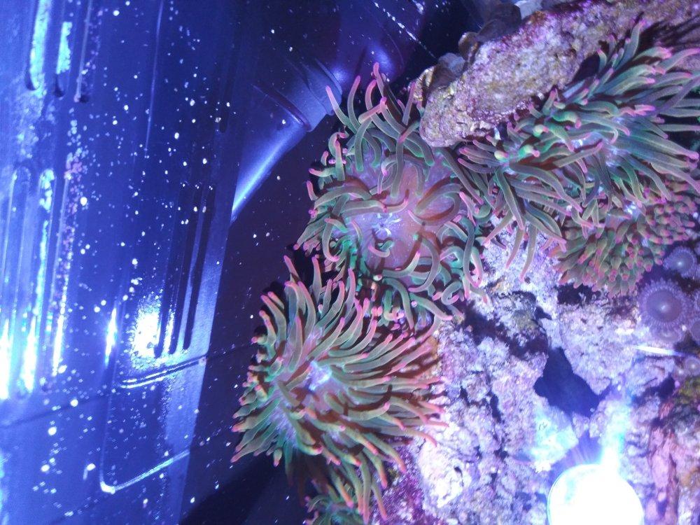 anemone.thumb.jpg.1f9de001486b12f4b646356916e0dfcb.jpg