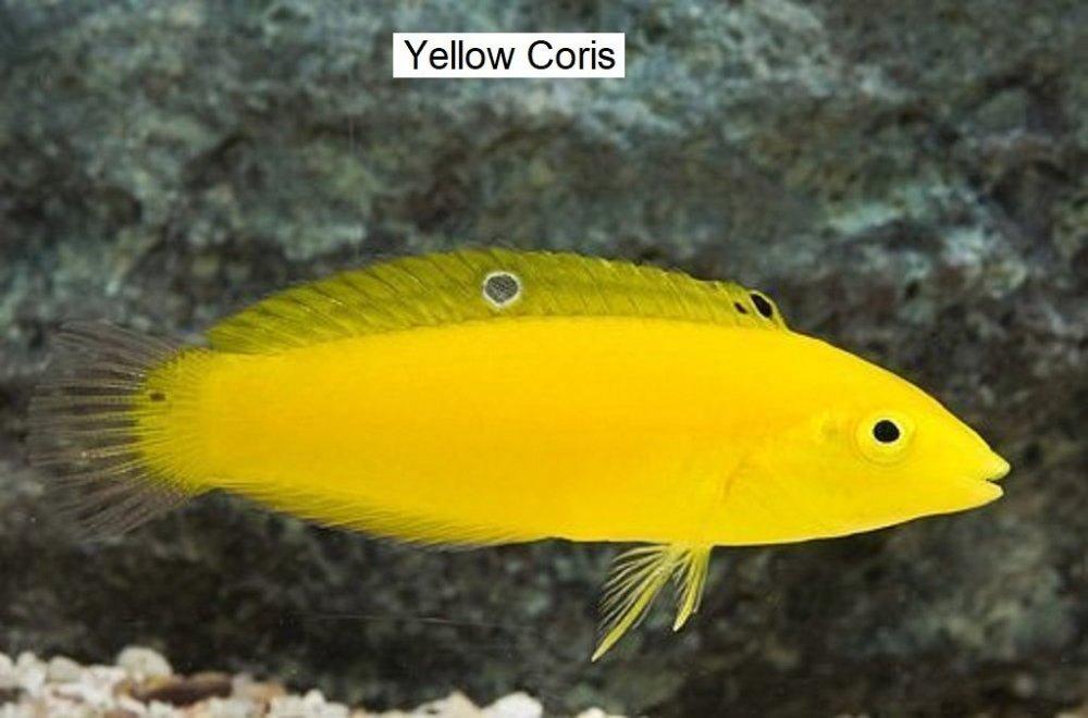 Marine-Wrasse-Yellow-Coris.jpg